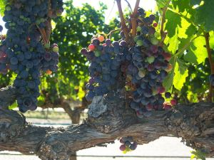 vine_branch_with_grape