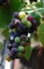 grapes bigger