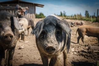pigs-665895_1920