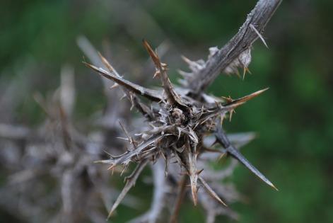 thorn-2404617_1920